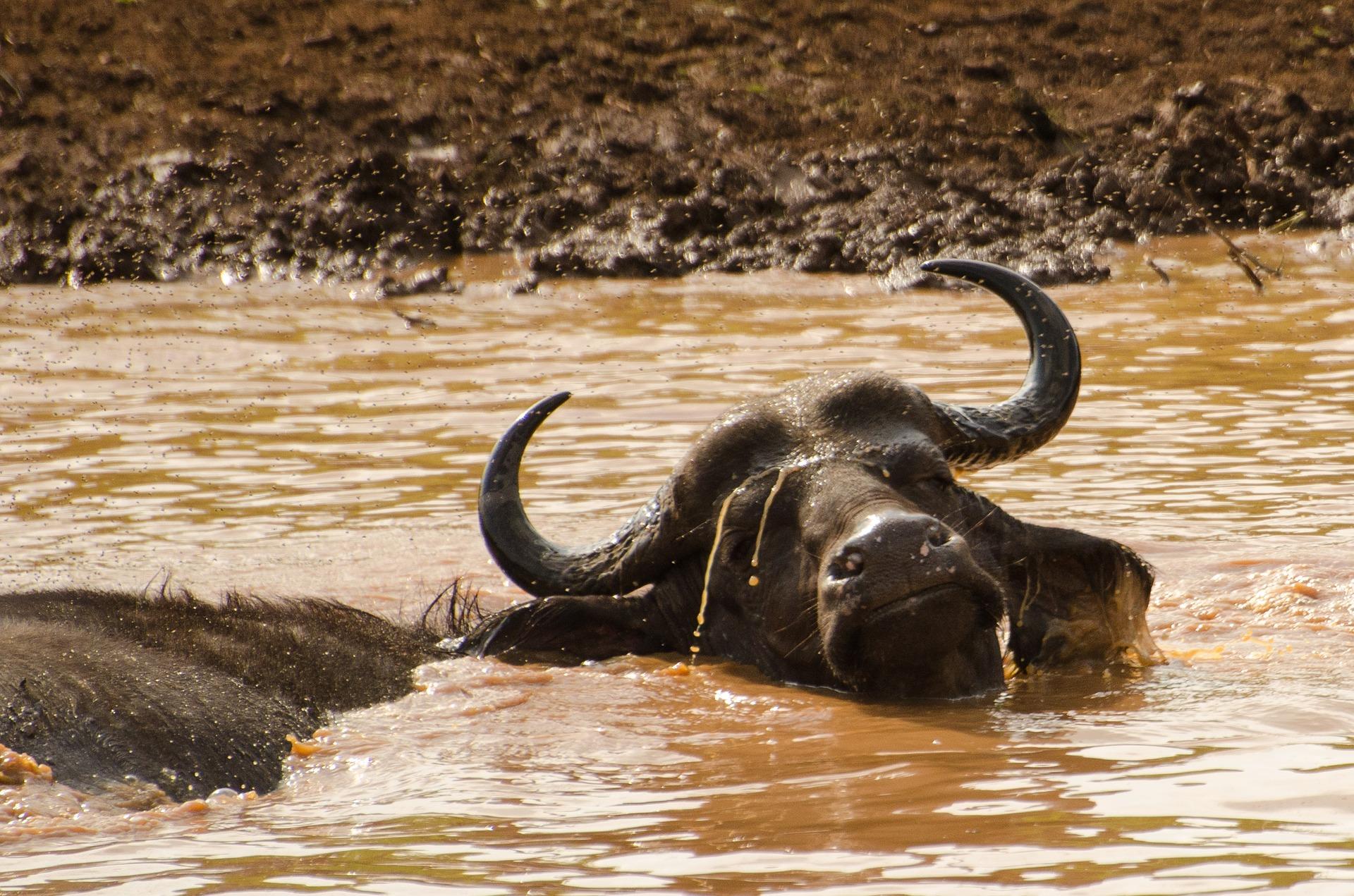buffalo-2359970_1920