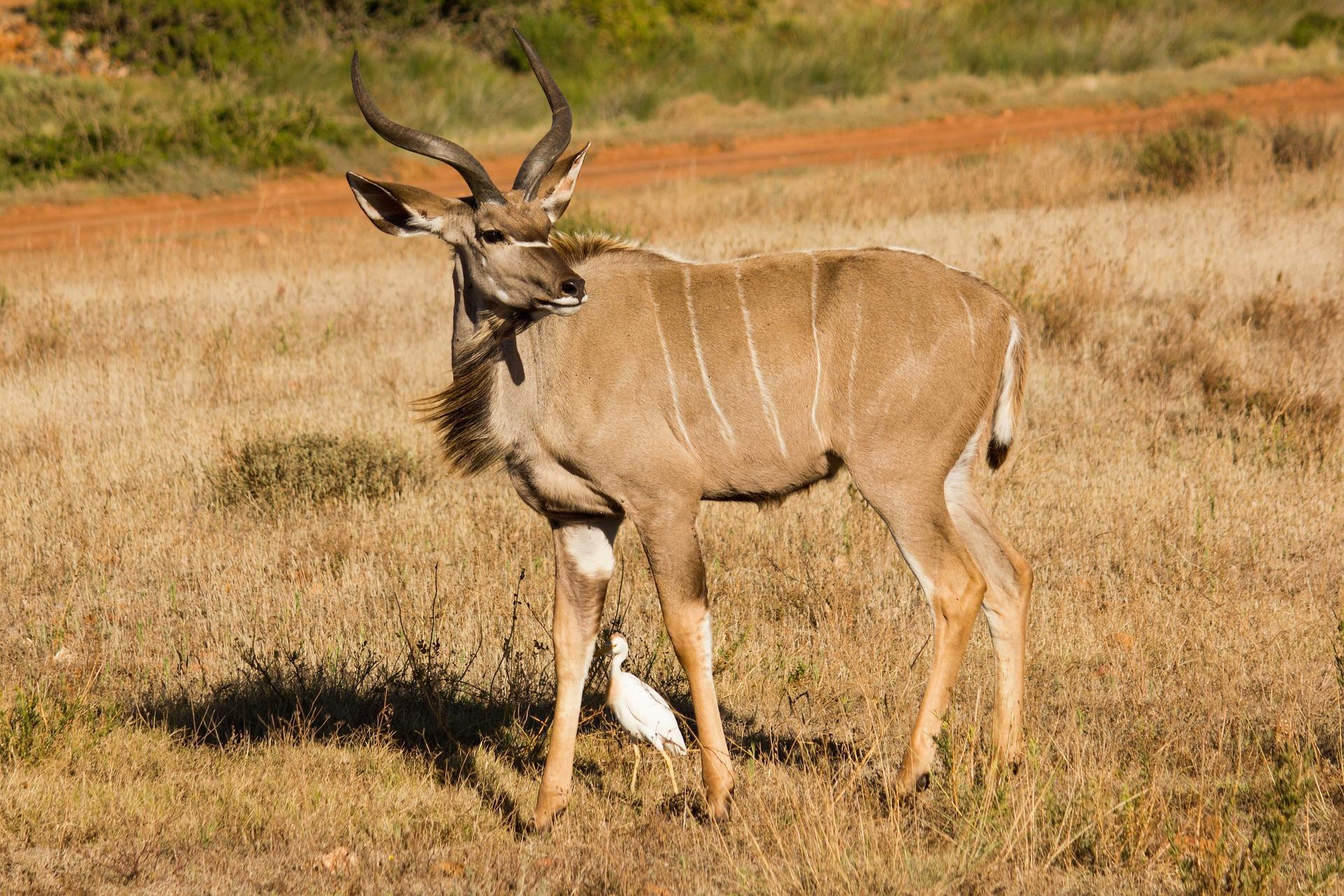 kudu-1068637_1920