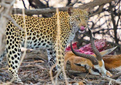 leopard-2882929