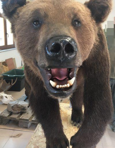 Mester András preparátor medve