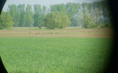 Fin de la época de corzos de primavera en Hungría