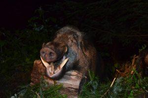 Wildboar in Romania