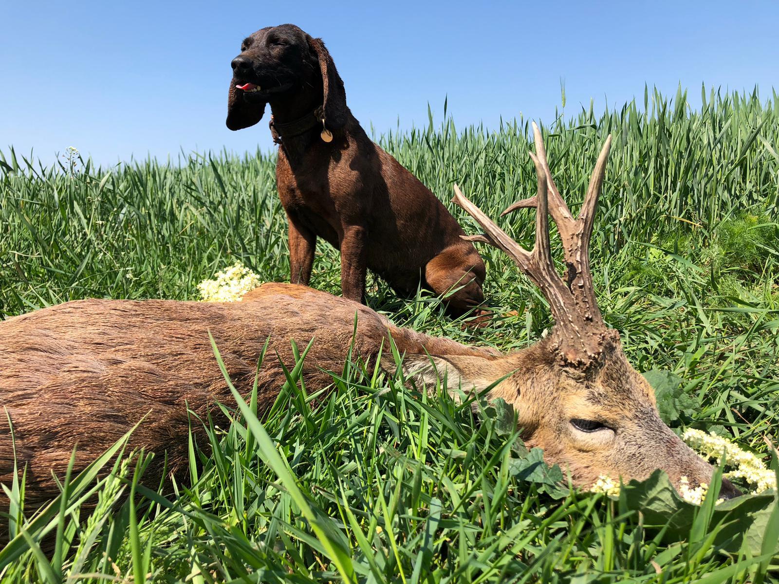 Roebuck hunting in Romania