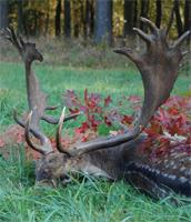Fallow deer in Hungary